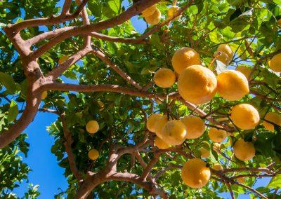 Dojrzewające cytryny