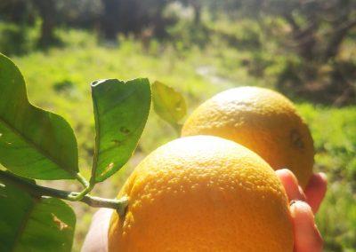 Dojrzała pomarańcza