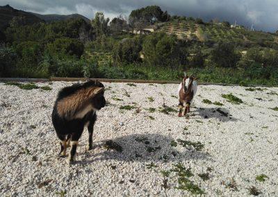 Kozy na wybiegu na ternie ośrodka Ranczo Salemi