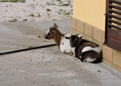 Kozy leżące pod ścianą