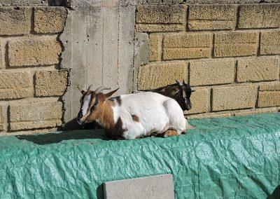 Wypoczywające kozy